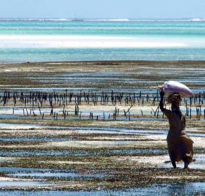 Zeewier oogsten in Jambiani