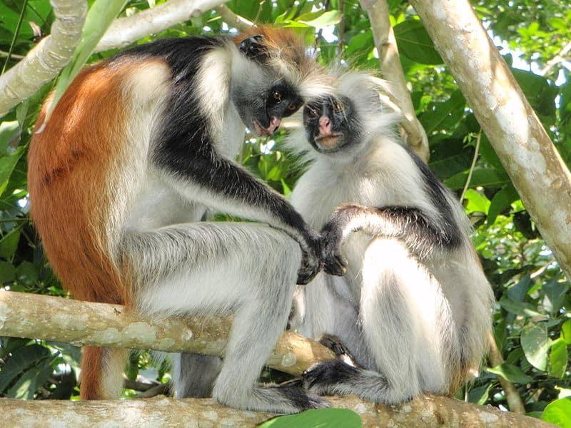 Reisroute - Rondreis Zanzibar - Red Colombus - Jozani