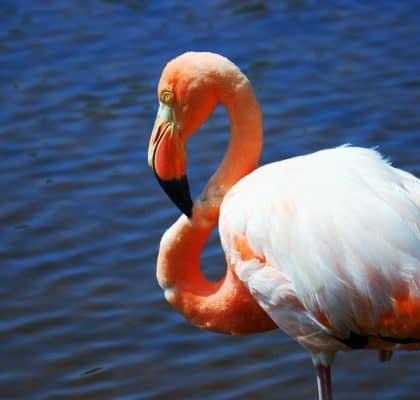 Flamingo - Isla Isabela Galapagos reisroute Ecuador