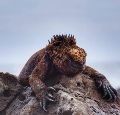 San Cristobal Galapagos reisroute_iguana_edited